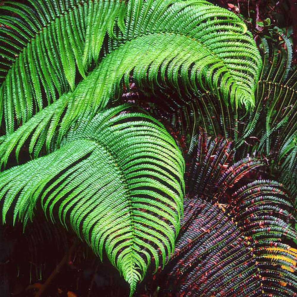"Christopher Burkett ""  Cascading Ferns,"" Hawaii    Cibachrome Photograph    Available in 20"" x 20"", 30"" x 30"", and 40"" x 40"""