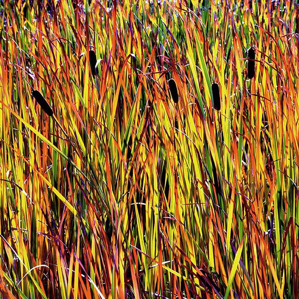 "Christopher Burkett ""Cattail Fiesta,"" South Dakota    Cibachrome Photograph    Available in 20"" x 20"", 30"" x 30"", and 40"" x 40"""