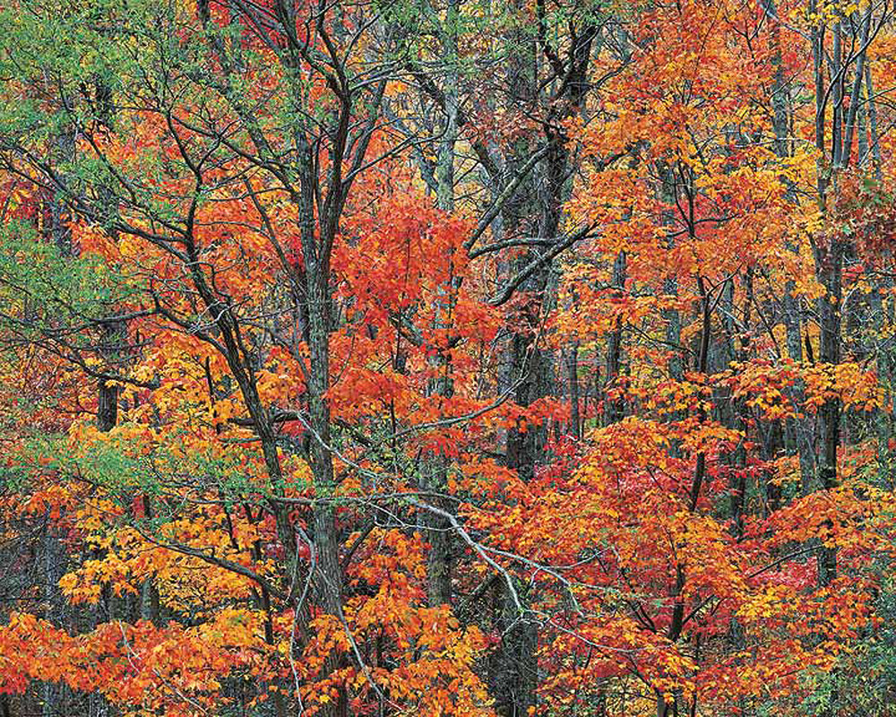 "Christopher Burkett ""Cherokee Autumn Forest,"" Tennessee Cibachrome Photograph Available in 20"" x 24"", 30"" x 40"", and 40"" x 50"""