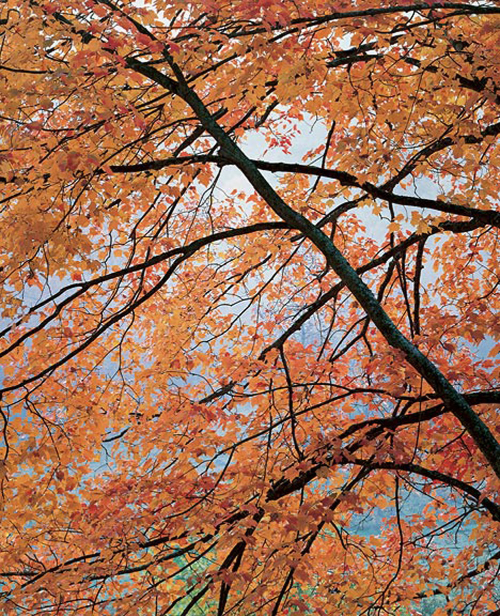 "Christopher Burkett ""Churchyard Maple,"" North Carolina Cibachrome Photograph Available in 20"" x 24"", 30"" x 40"", and 40"" x 50"""