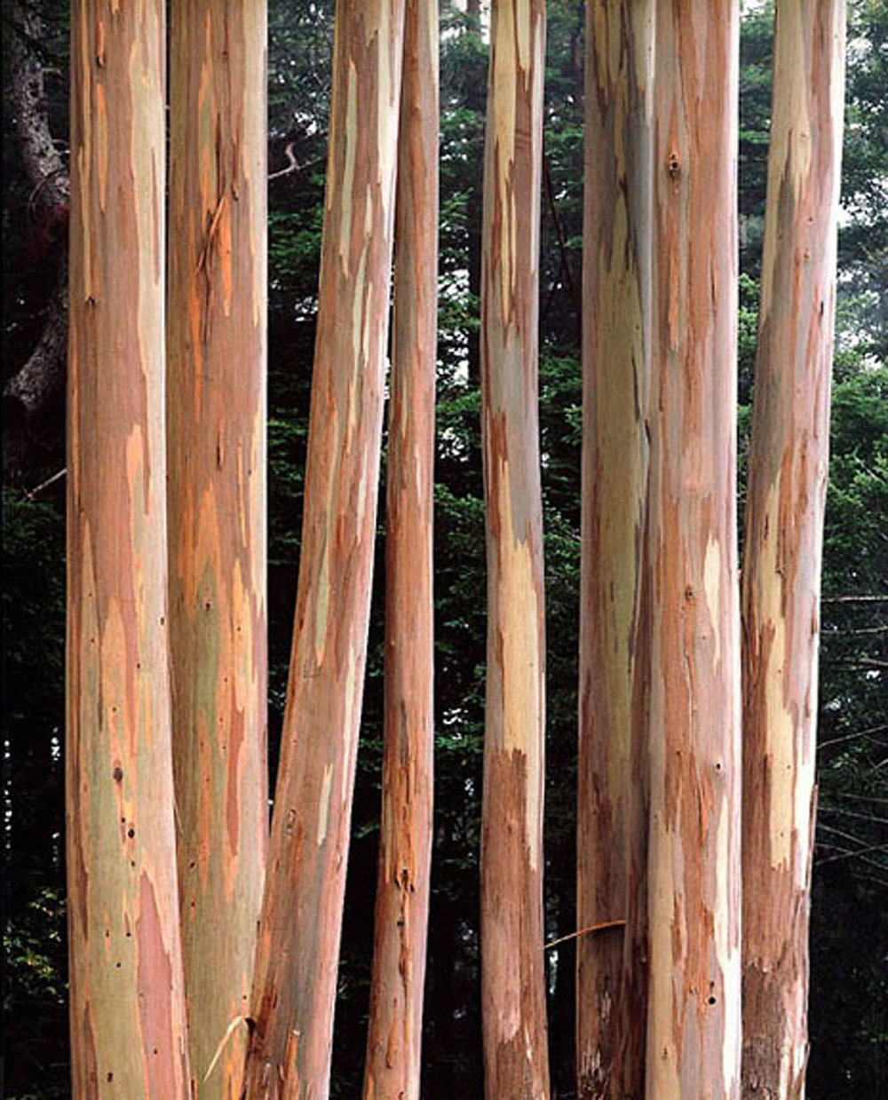 "Christopher Burkett   ""Coastal Eucalyptus Trunks,"" California    Cibachrome Photograph    Available in 20"" x 24"", 30"" x 40"", and 40"" x 50"""