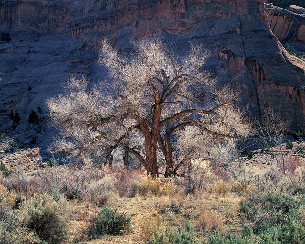 "Christopher Burkett ""Cottonwood & Light,"" Utah    Cibachrome Photograph    Available in 20"" x 24"", 30"" x 40"", and 40"" x 50"""