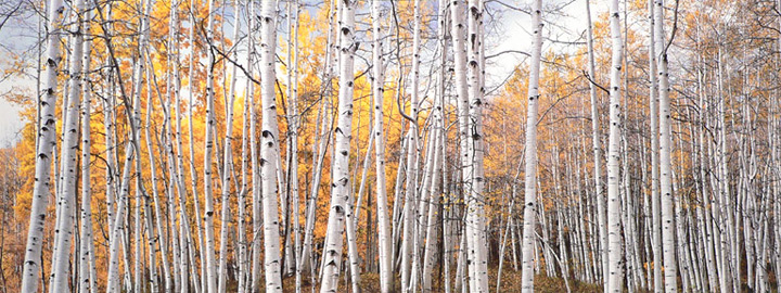 "Christopher Burkett ""Golden Aspen Glade,"" Utah  Cibachrome Photograph  Available in 13"" x 33"", 20"" x 50"", and 25"" x 64"""