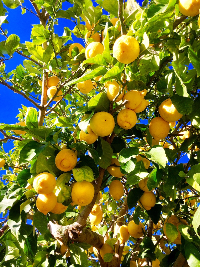 Ibiza lemon tree
