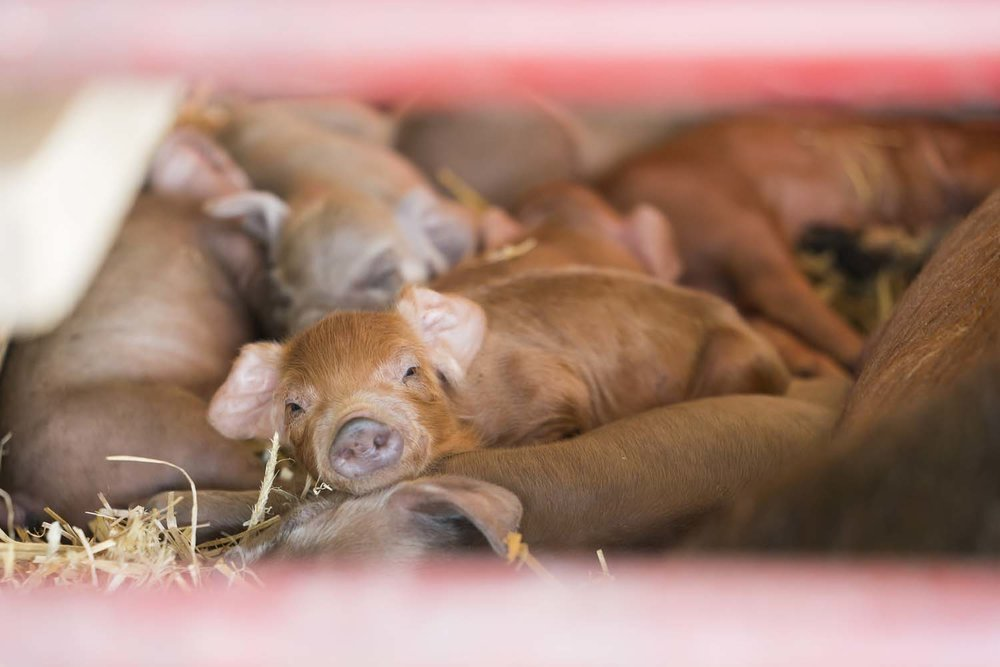Baby Piglets at Stone Barns