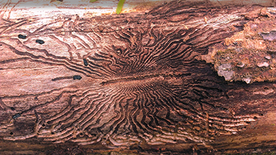 wood holes pine beetles.jpg