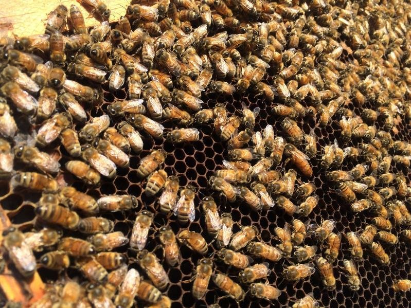 honeybees-1-0c9d18571452519837796efc1cfb9c9c9faf09d6-s800-c85.jpg