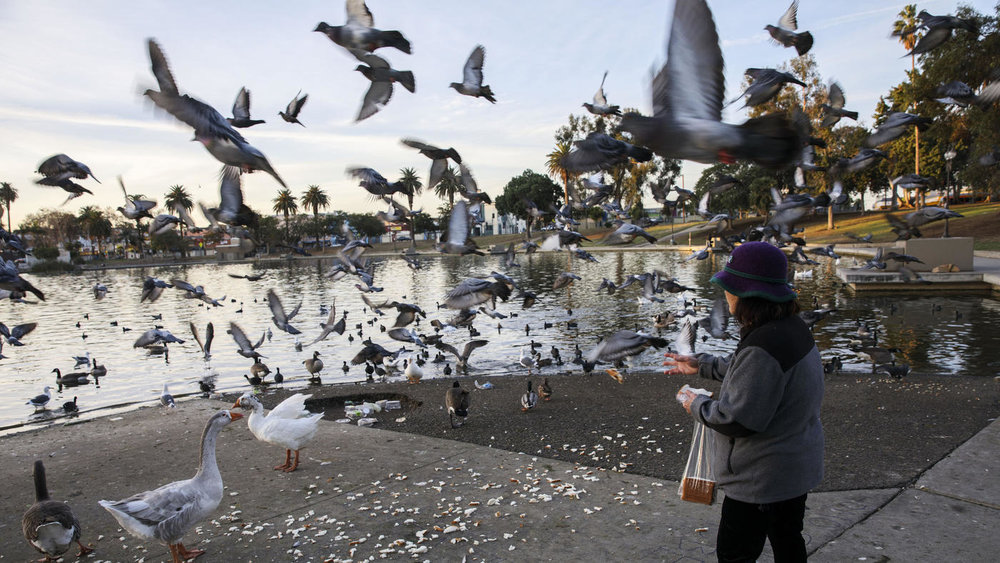 Patrick T. Fallon / For The Times  Nancy Tran feeds birds bread at sunrise on the lake at MacArthur Park.