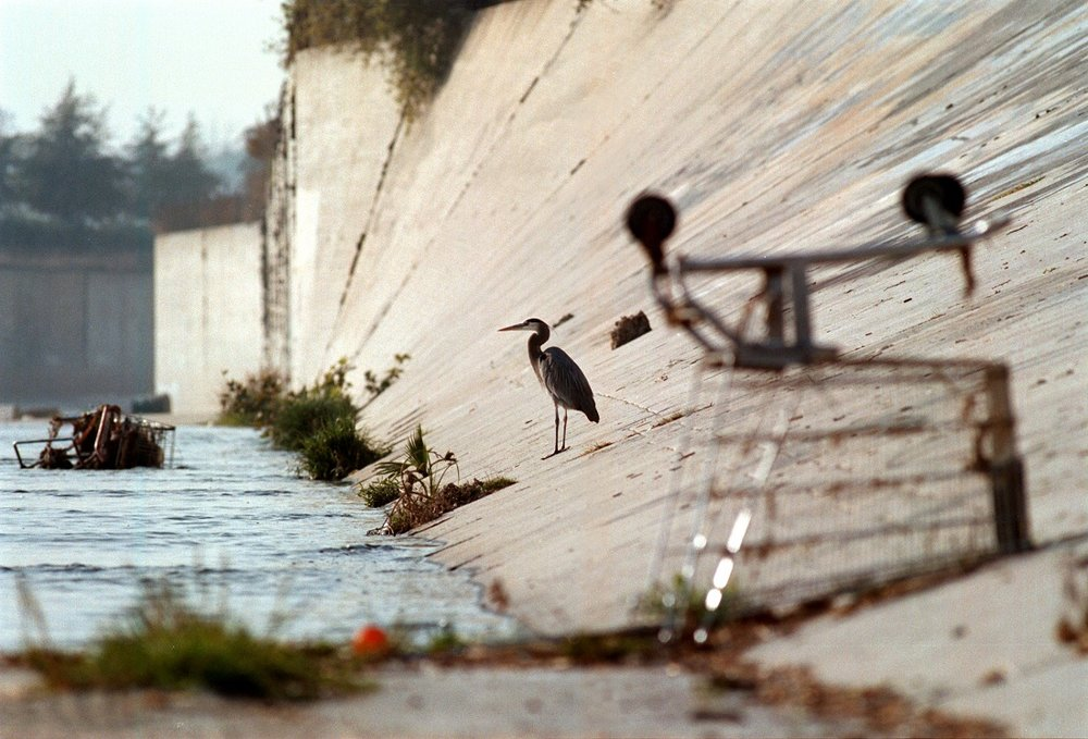 A great blue heron keeps company with shopping carts in the Los Angeles River.   Photo:  David McNew  /  Newsmakers  /Getty Images