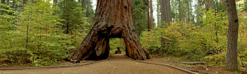 The Pioneer Cabin sequoia in Northern California's Calaveras Big Trees State Park was carved into a tunnel in the late 19th century. It fell on Sunday, brought down by a massive storm.    Brian Baer/Calaveras Big Trees State Park