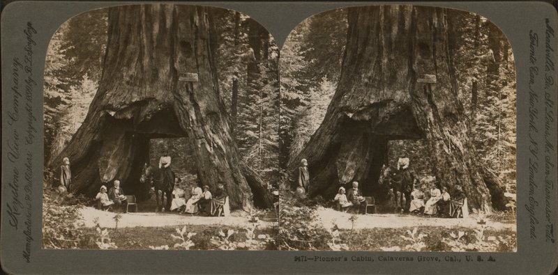 An 1899 stereograph shows the Pioneer Cabin sequoia in Calaveras Grove, Calif.    B.L. Singley/New York Public Library