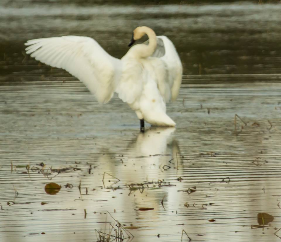 barbara craven bird2 swan.jpg