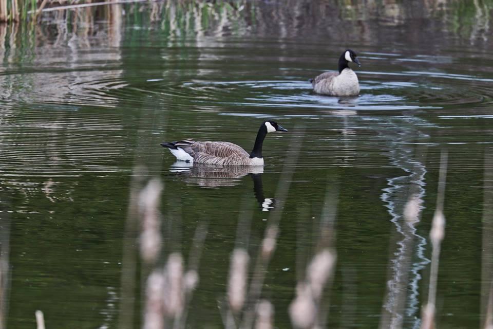 Steve Jacobs geese.jpg