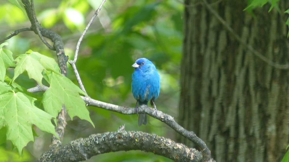 Larry Holden bird1 indigo bunting.jpg