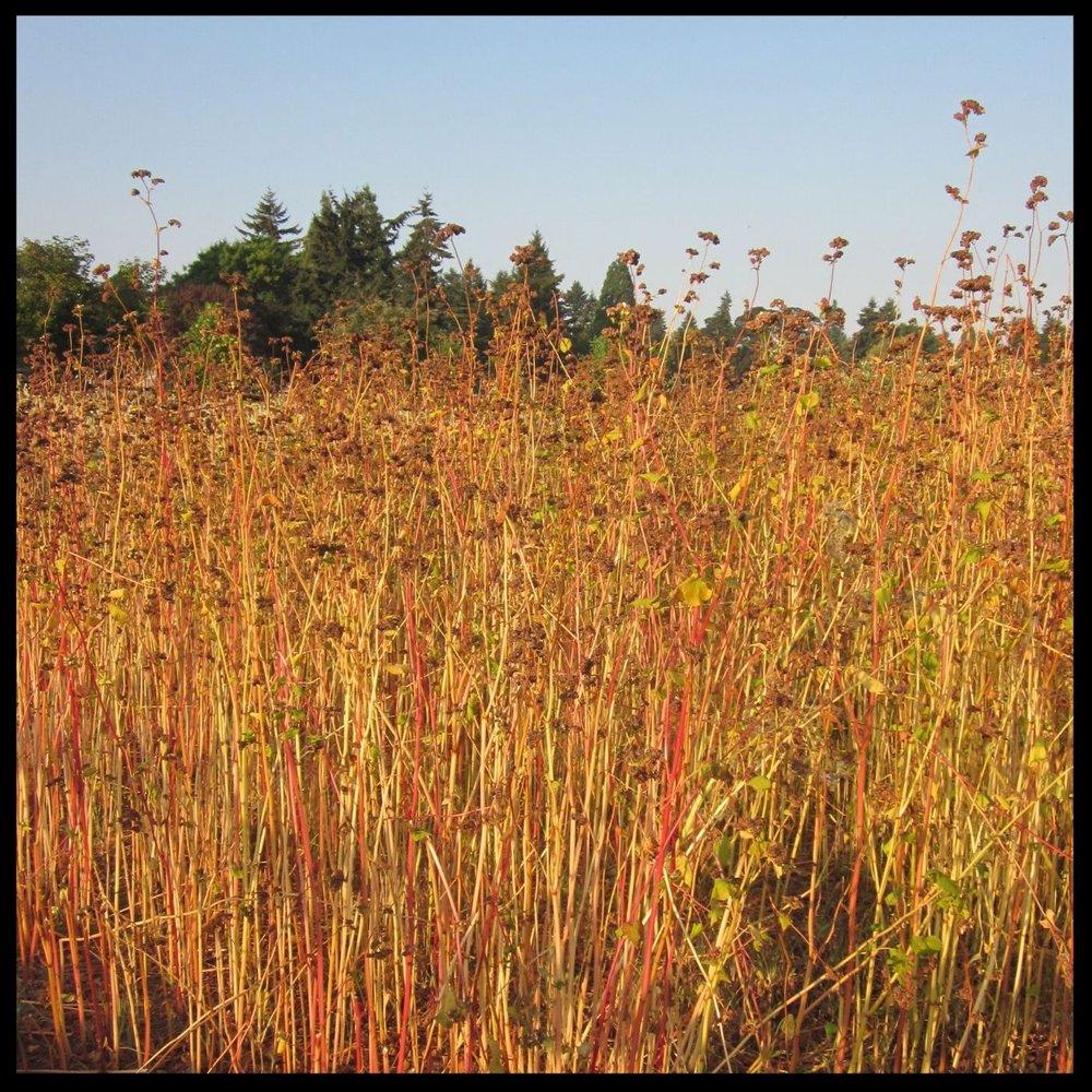 FV buckwheat.JPG