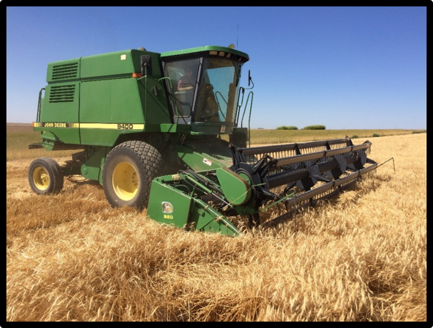 Harvesting Organic Turkey Red Wheat;   Scene of the Great Yellow Jacket Harvest Battle