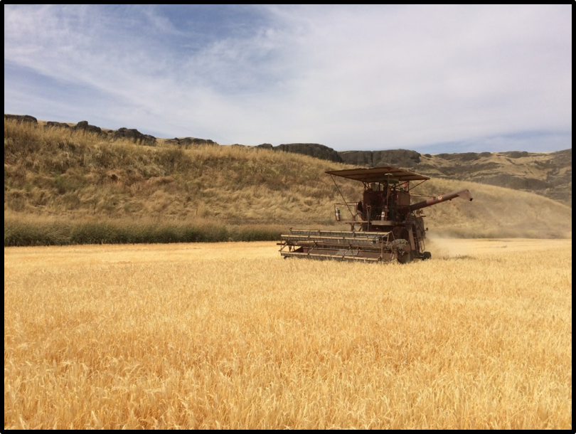 Harvesting Palouse Heritage Scots Bere Barley at Delong's