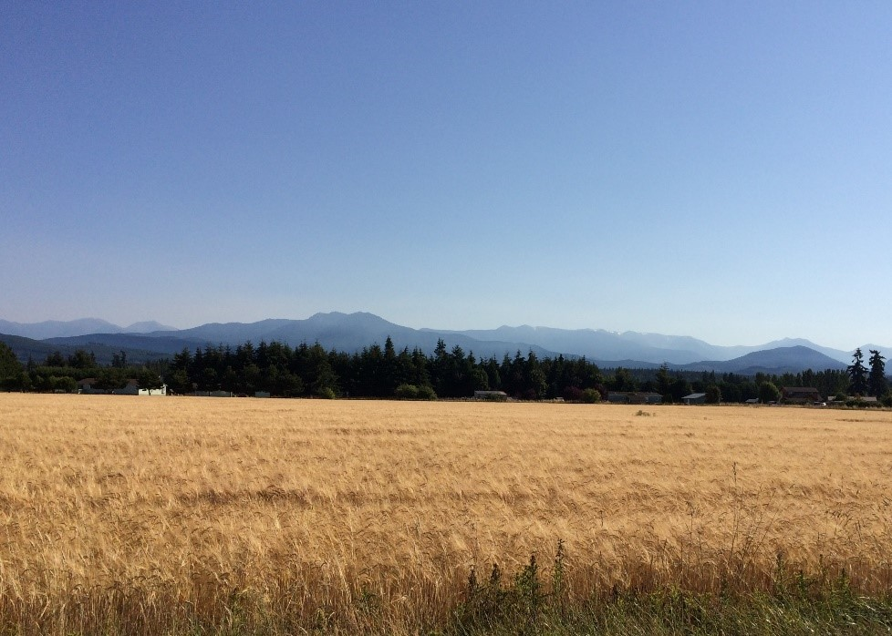 Barley Field near Sequim on Washington's Olympic Peninsula (2018)