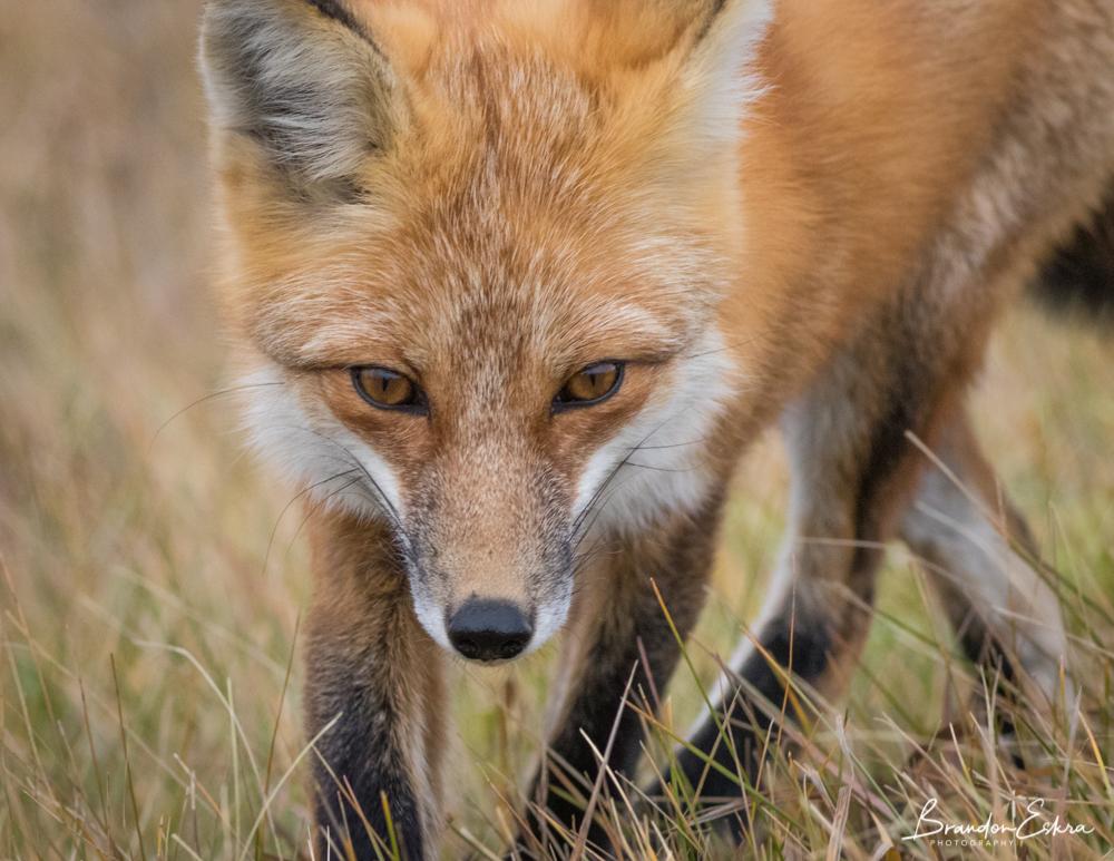 october_2017_fox (186 of 188).jpg