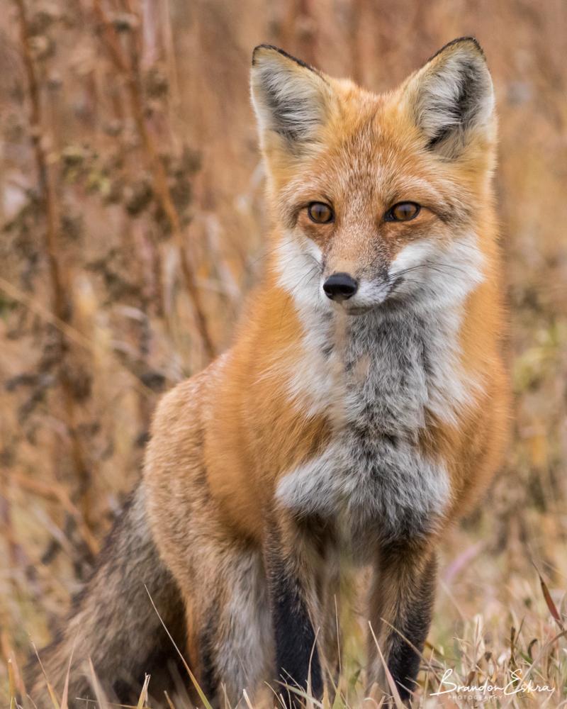 october_2017_fox (109 of 188).jpg