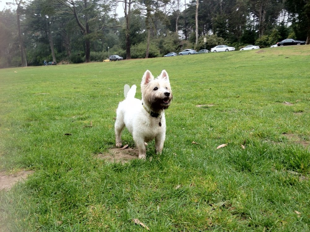 Don-Don with his rare tail wag at Golden Gate Park. He was too cool to wag his tail for most of his life...😅
