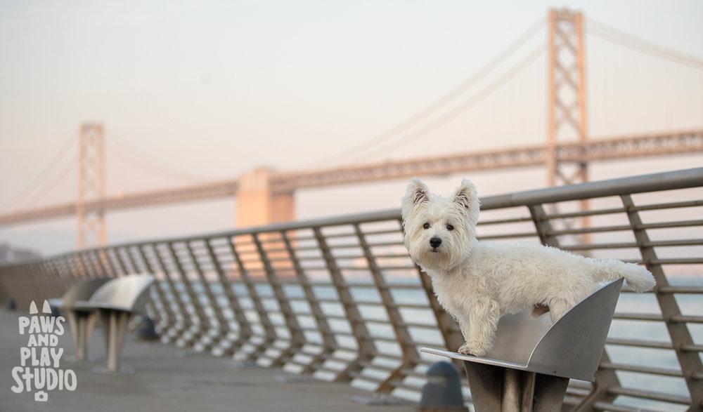 Westie_Dog_Photographer_Bay_Bridge.jpg