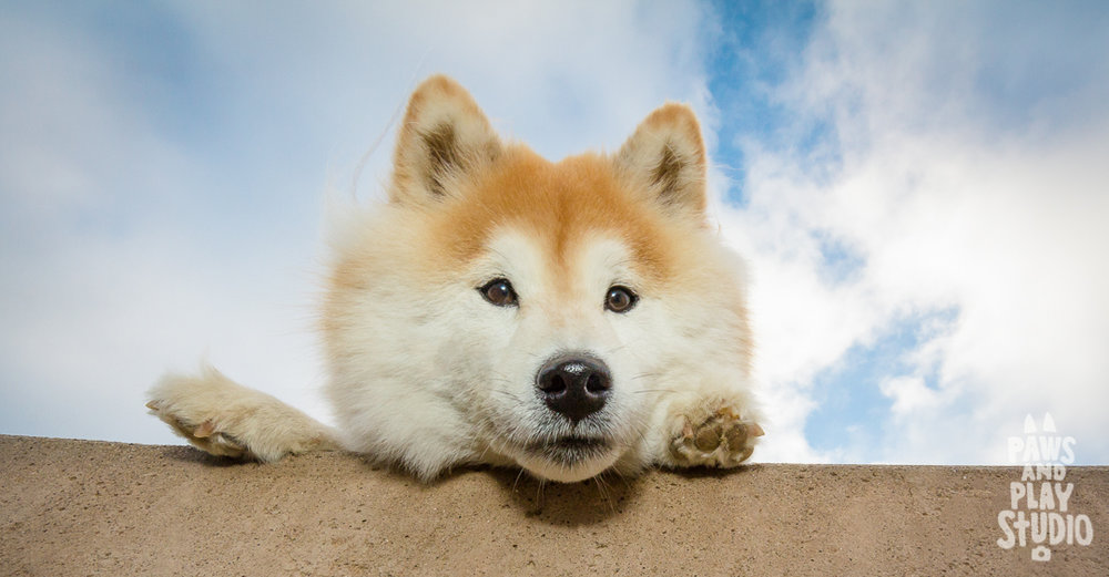 shibainu_Dog_Photographer_Bay_Area.jpg