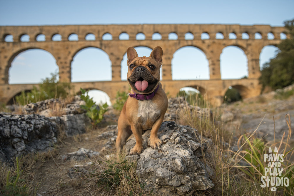 Frenchie-dog-photographer-san-francisco.jpg