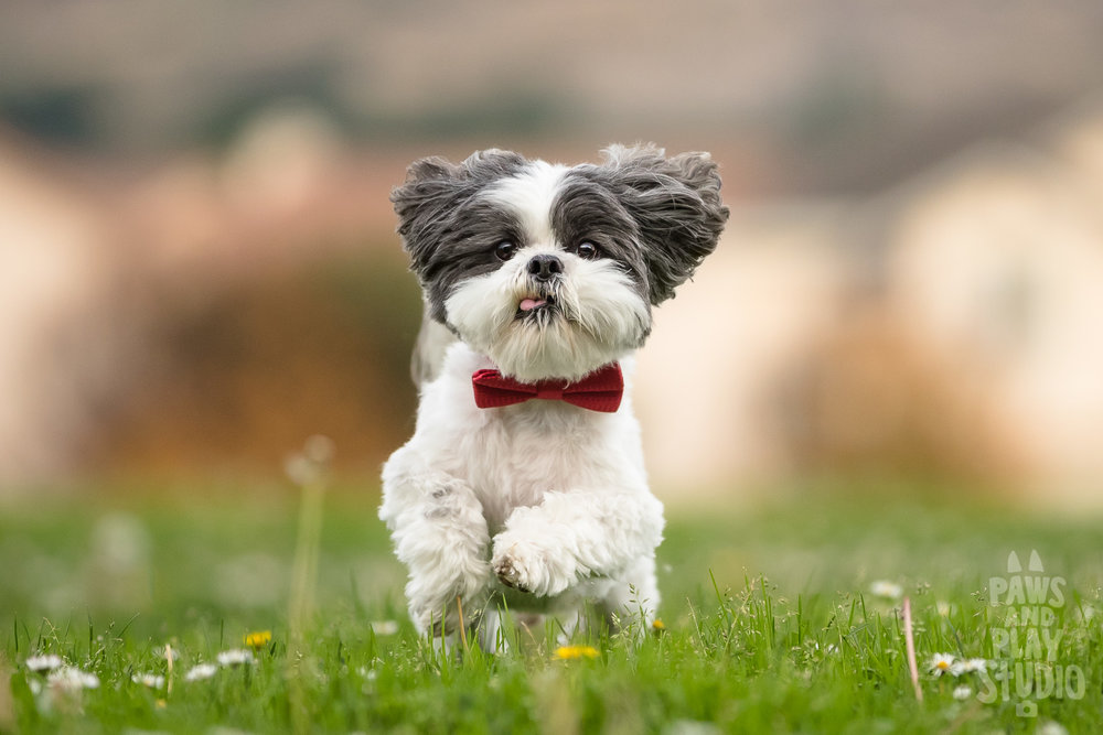 San-Mateo-Dog-Photographer-Shihtzu.jpg