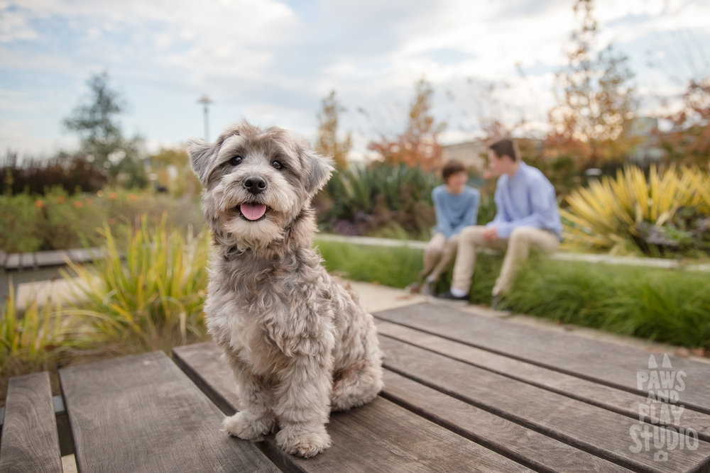 San-Francisco-Dog-Photographer-YorkiePoo.jpg