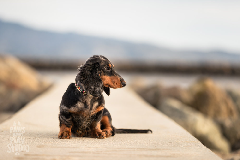 San-Francisco-Dog-Photographer-Dachshund.jpg