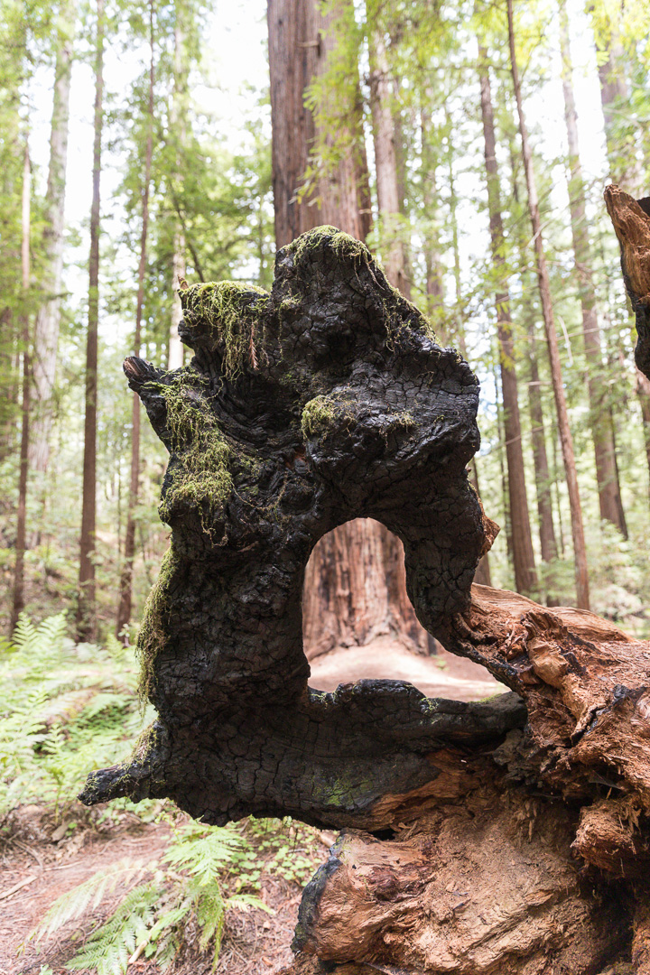 Montgomery Woods State Natural Reserve