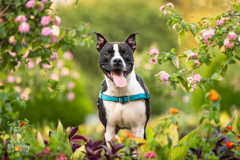 SF-Dog-Photographer-Pittbull.jpg