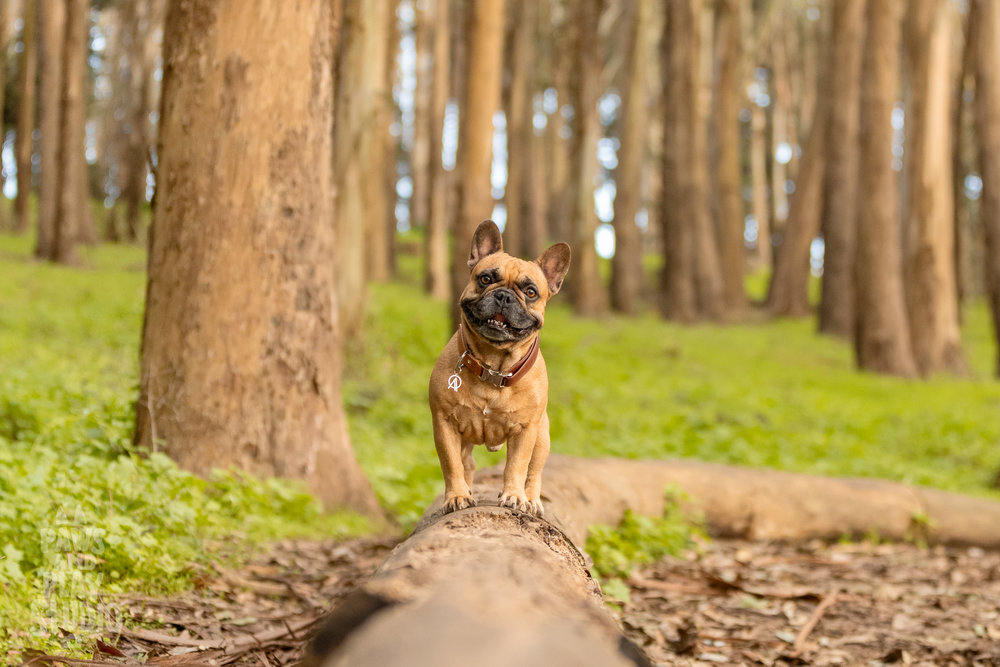 San-Francisco-Dog-Photographer-French-Bulldog.jpg