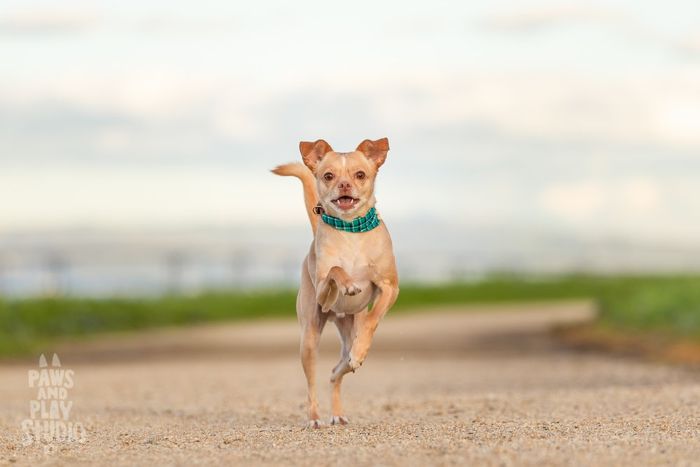 San-Francisco-Dog-Photographer-Rescue-Dog.jpg