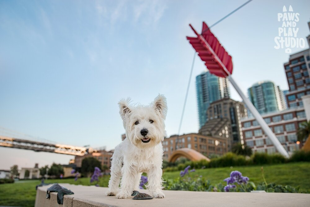 westie-terrier-cupids-span-san-francisco-photographer.jpg