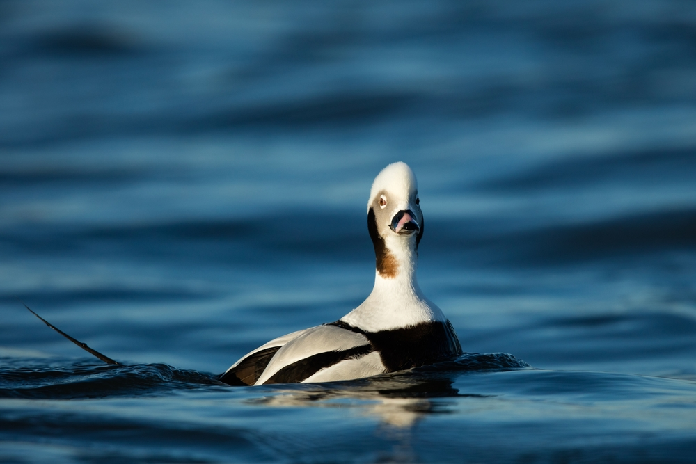 Long- Tailed Duck- Canon 5DSR, 600mm f4 IS II, 1.4x iii(840mm, 1/2000 sec, f5.6, ISO 400)