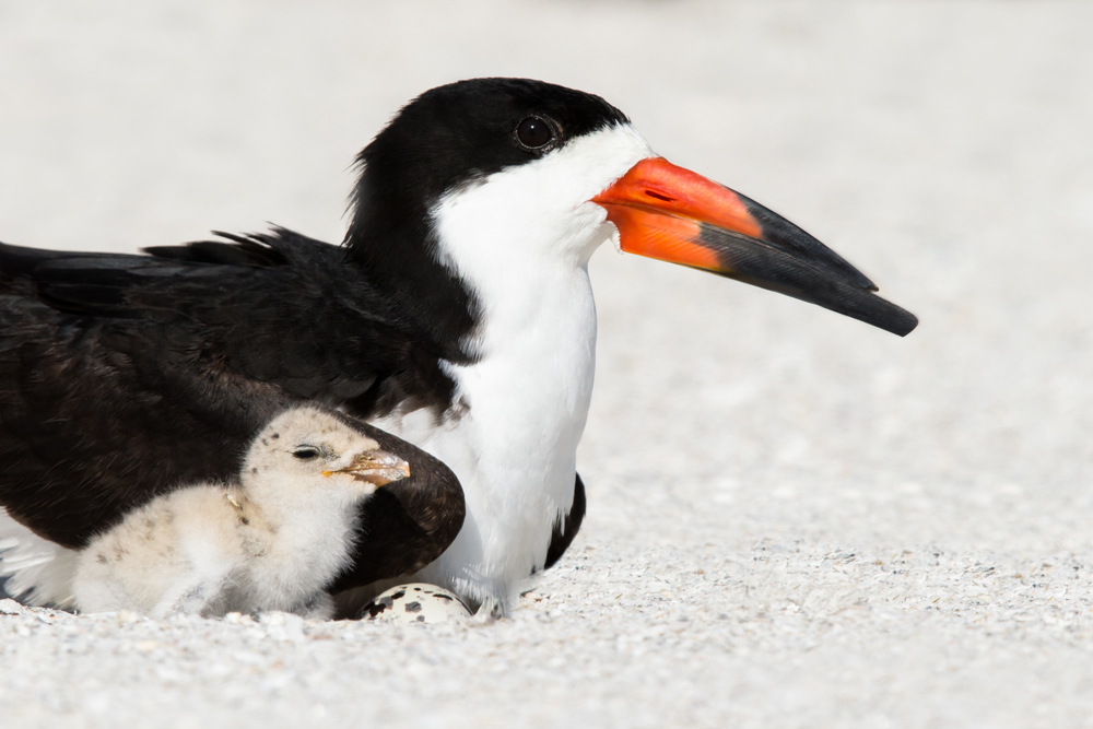 Black Skimmer- Canon 1DX, 600mm f4 IS II, 2x iii(1200mm, 1/2000 sec, f16, ISO 640)