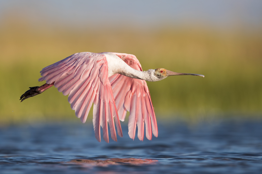 Roseate Spoonbill- Canon 1DX II, 600mm f/ 4 IS II
