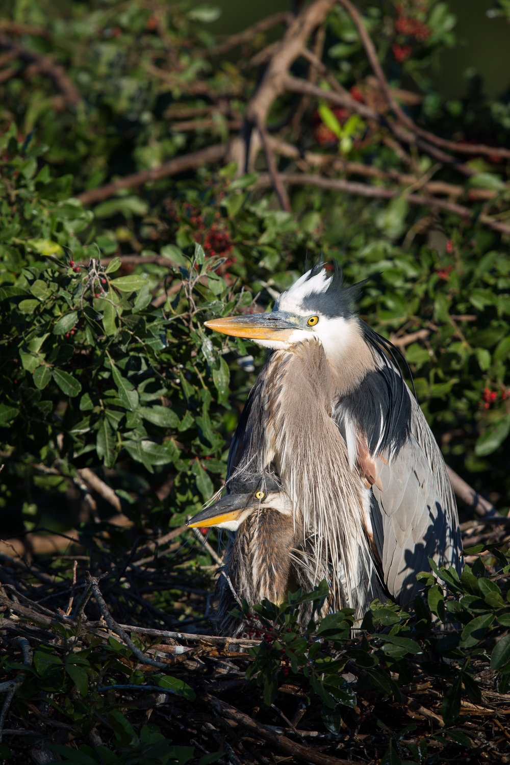 Great Blue Heron & Chick