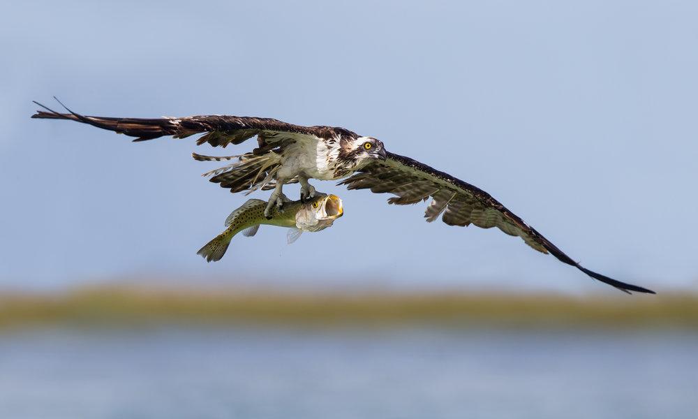 Osprey & Sea Bass