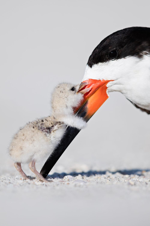 Black Skimmer & Chick