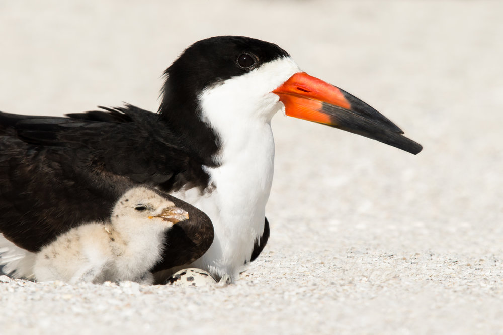 Black Skimmer Family
