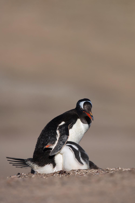 Gentoo Penguin & Chick