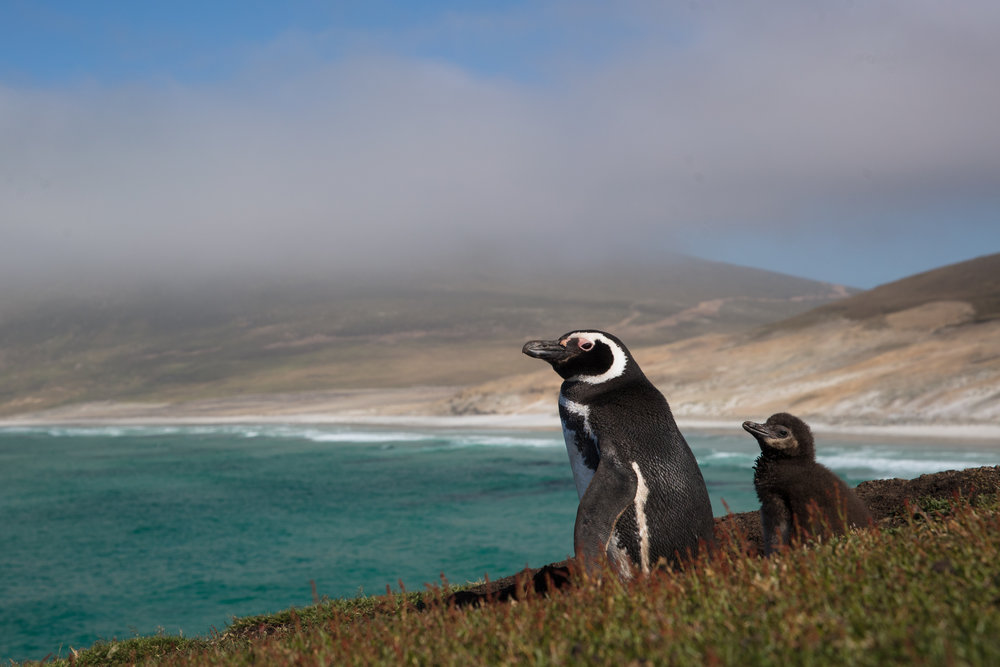Magellanic Penguin & Chick