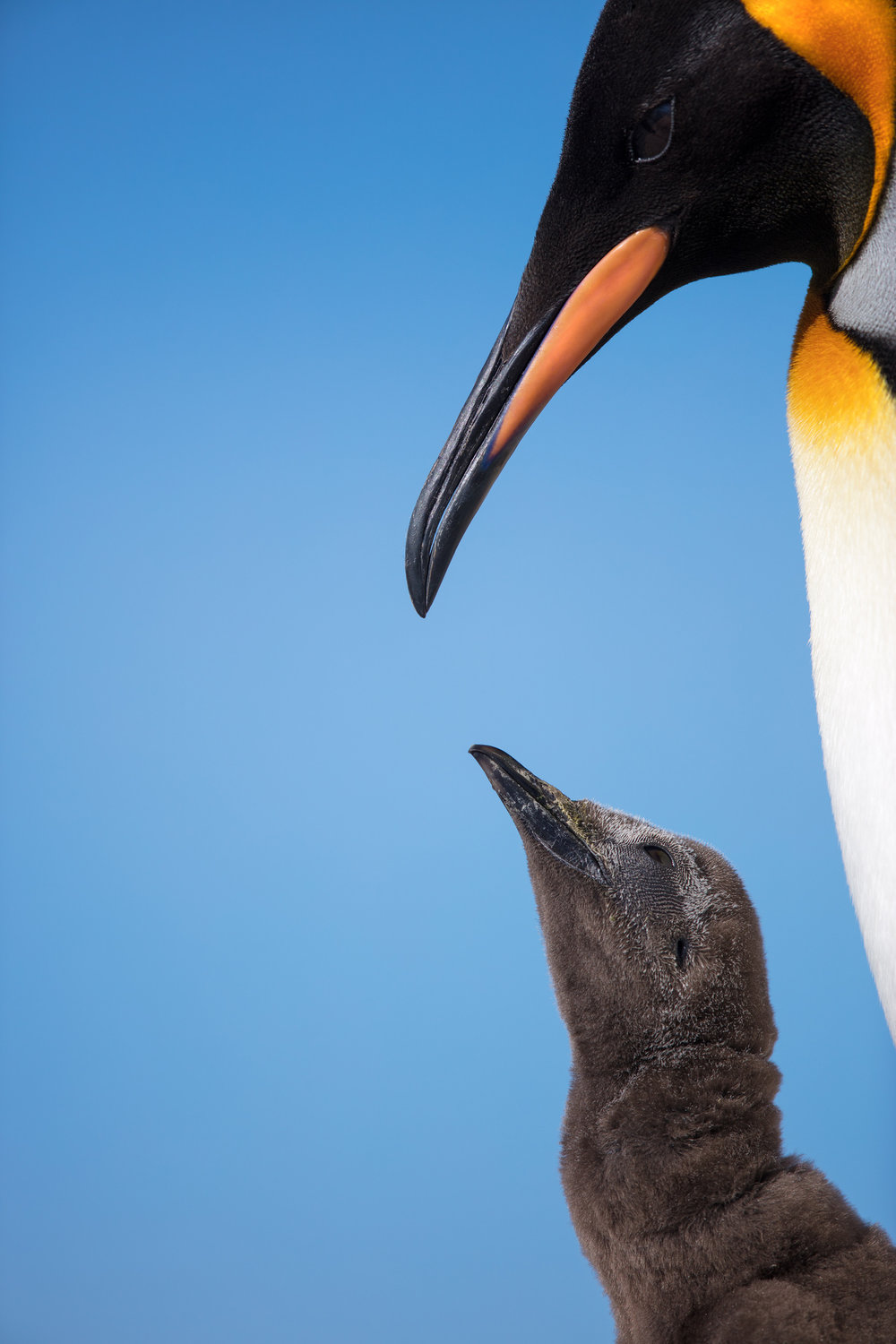 King Penguin & Chick