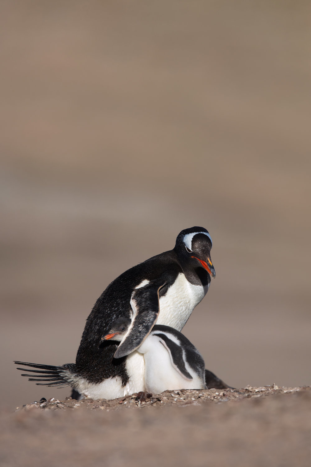 Gentoo Penguin & Chick