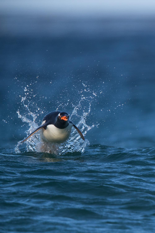 Gentoo Penguin porpoising