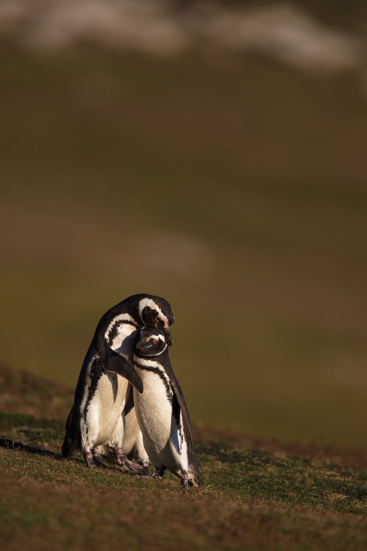Magellanic Penguin Hug