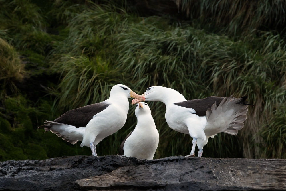 Albatross Interaction